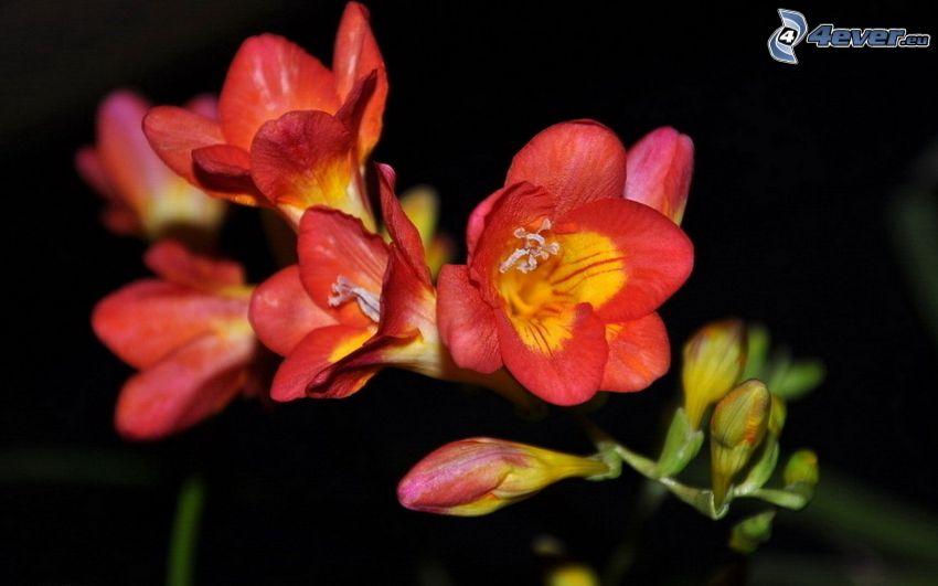 Freesia, roten Blumen