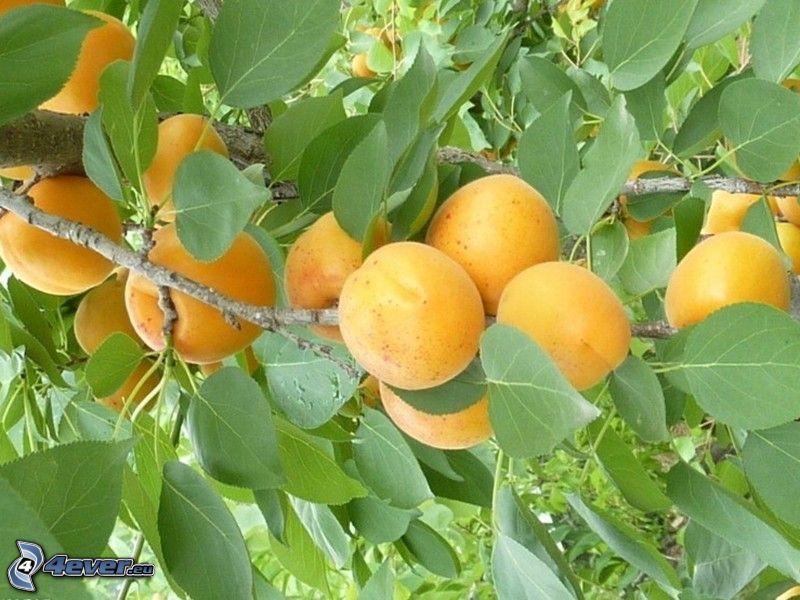 Aprikosen, Aprikosenbaum