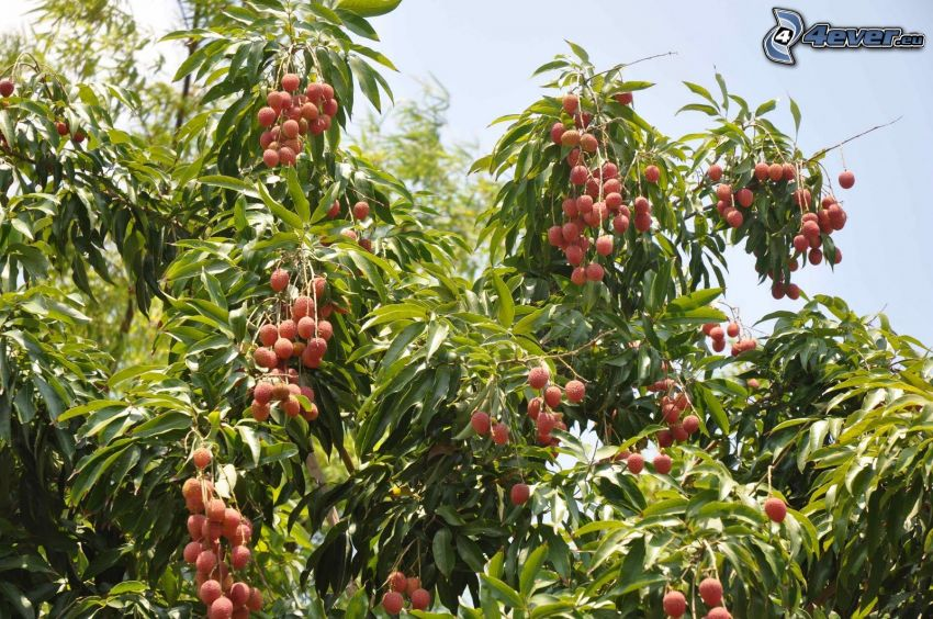 Litschis, Baum, grüne Blätter