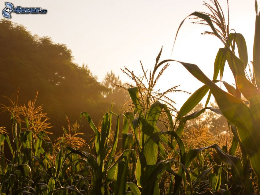 Maisfeld, nach Sonnenuntergang