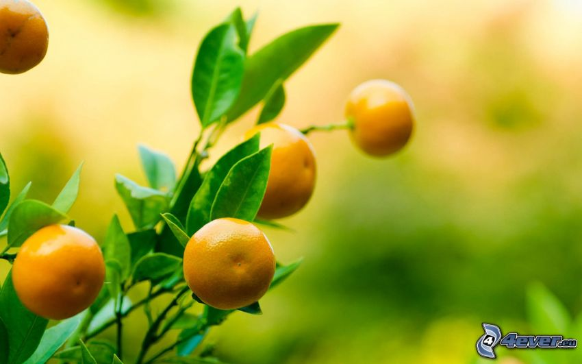 Mandarinen, Busch, grüne Blätter