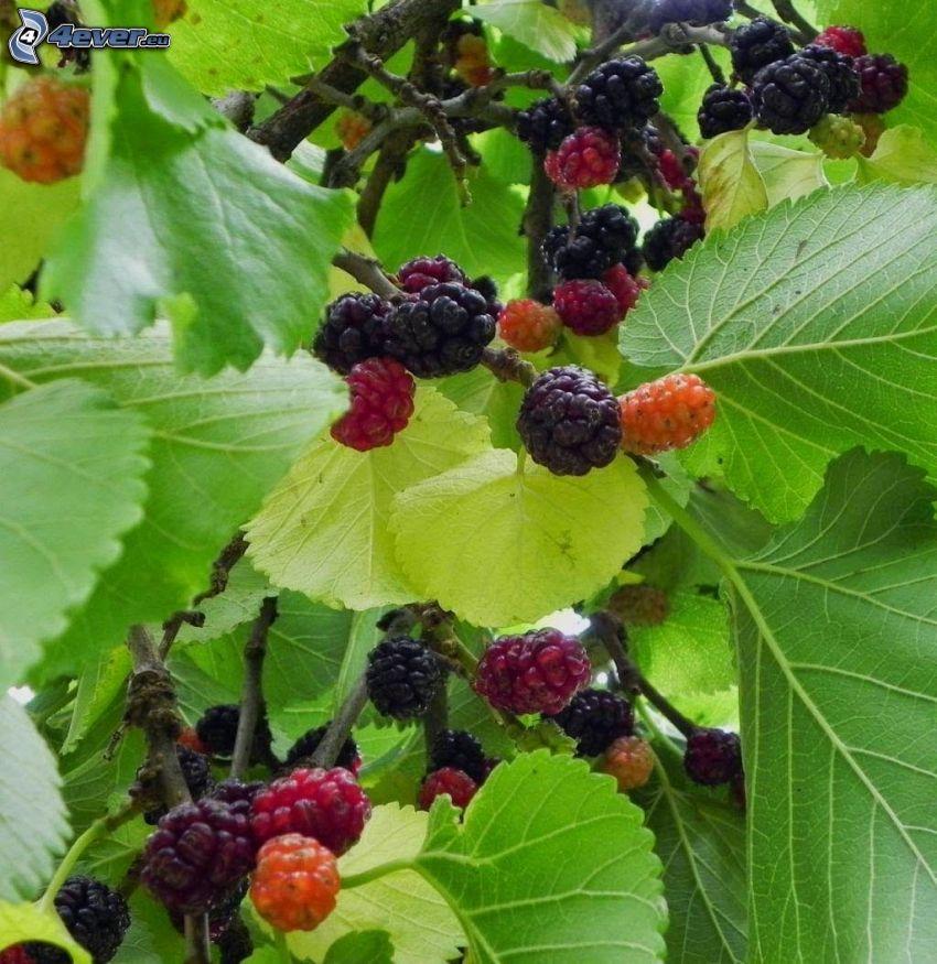 Maulbeeren, grüne Blätter auf dem Ast