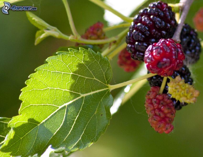 Maulbeeren, grünes Blatt, Zweig