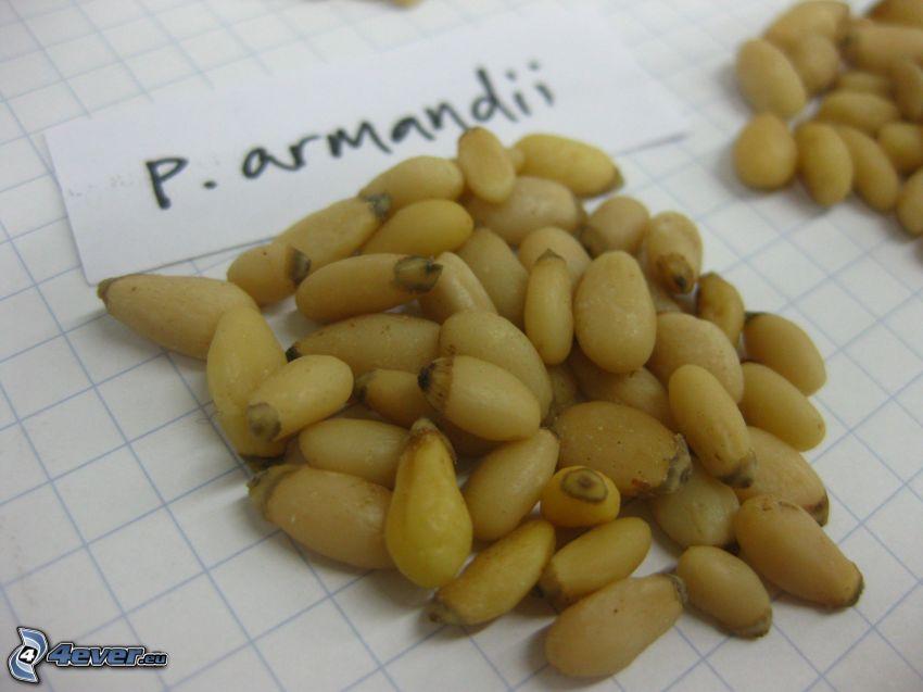 Pinienkernen
