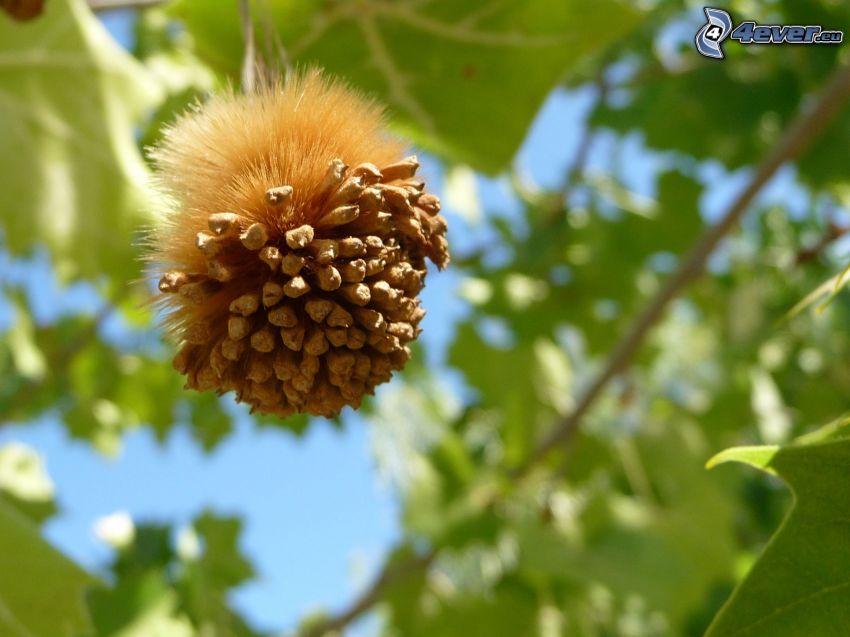 Platane, Früchte