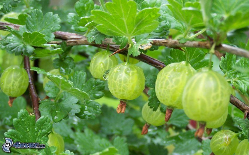 Stachelbeeren, grüne Blätter, Äste