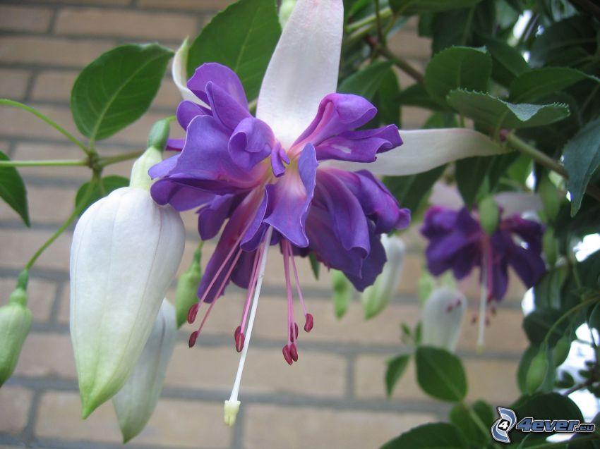 Fuchsien, lila Blumen