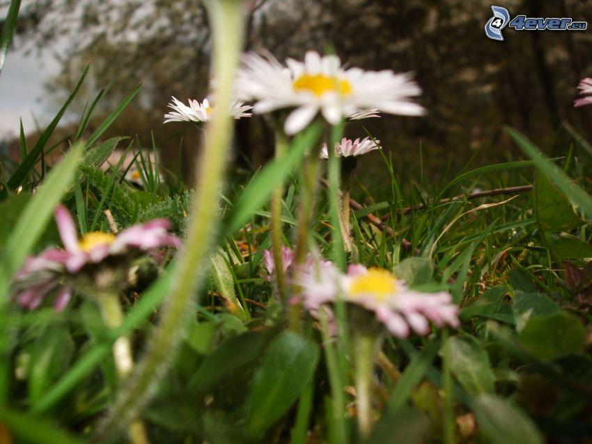 Gänseblümchen, Gras, Blumen
