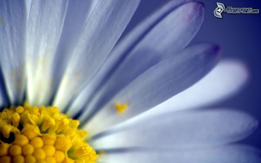 Gänseblume, Blütenblätter