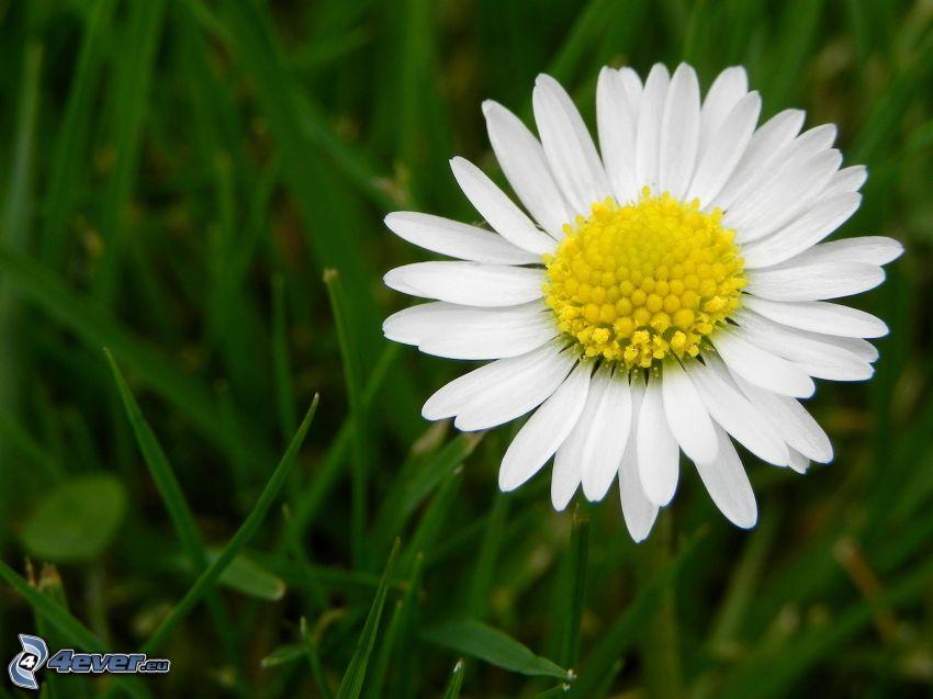 Gänseblume, Gras