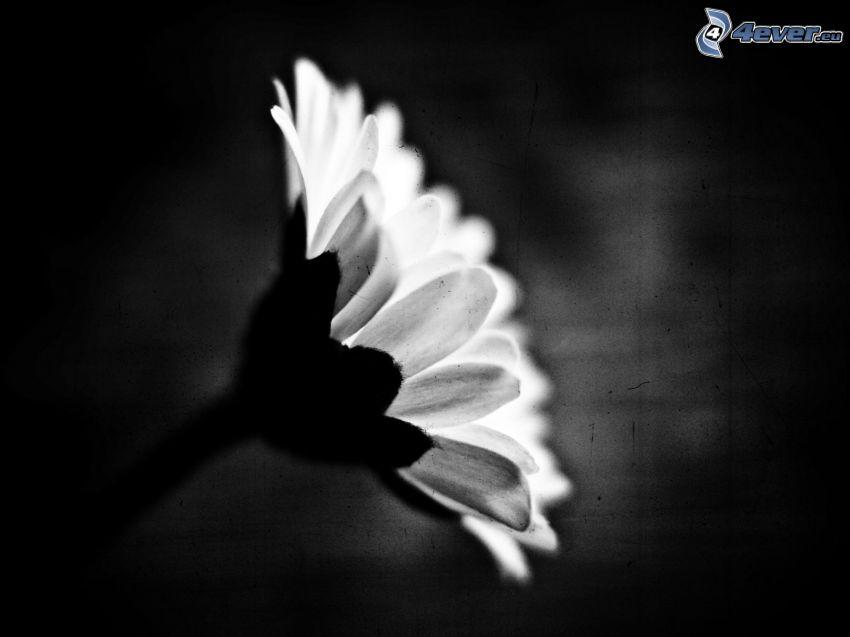 Gänseblume, schwarzweiß