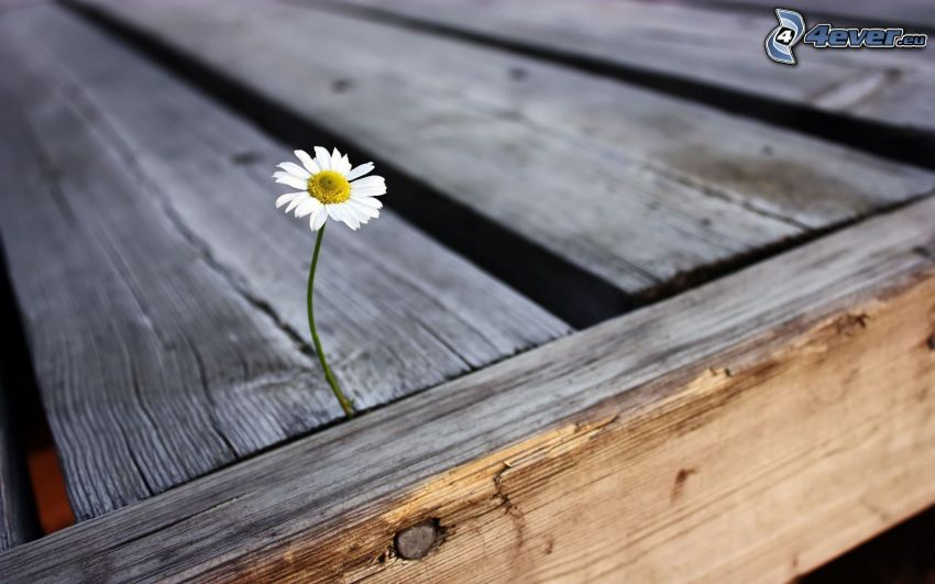 Gänseblume, Tisch, Holz