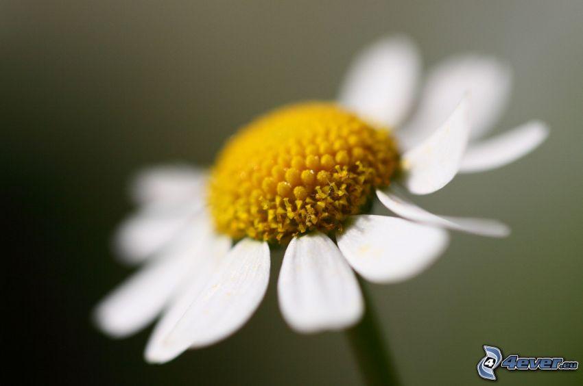 Gänseblume