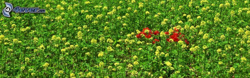 gelbe Blumen, Feldblumen
