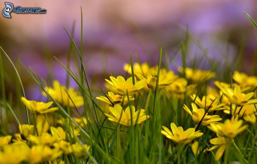 gelbe Blumen, Gras