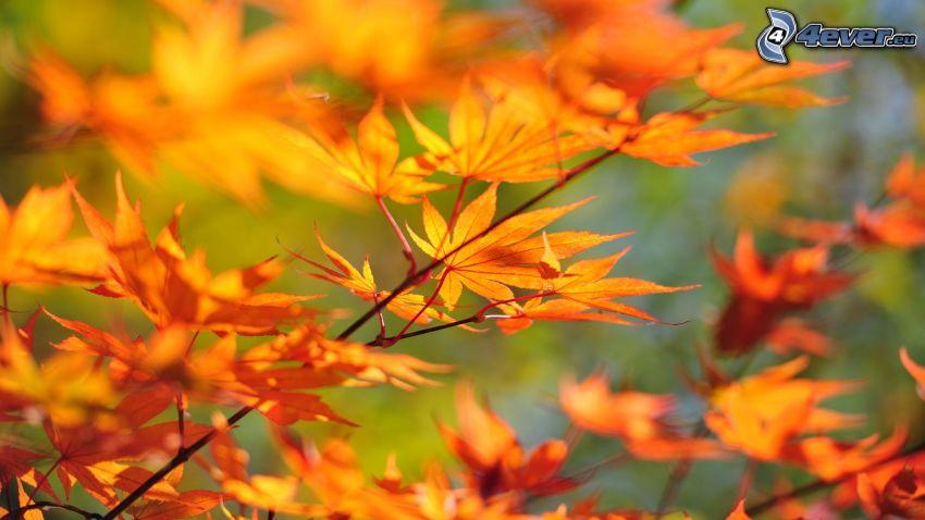gelber herbstlicher Ast, Zweige, Blätter