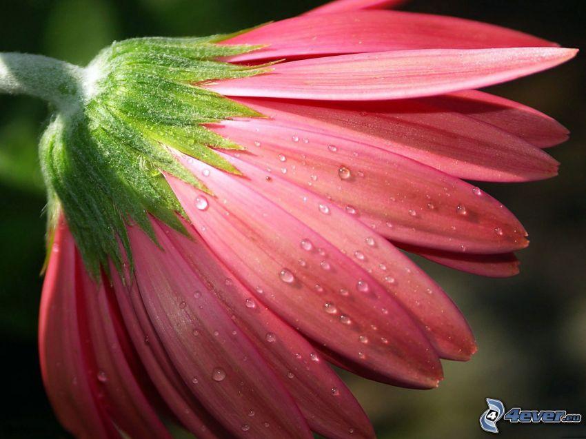 Gerbera, rosa Blume