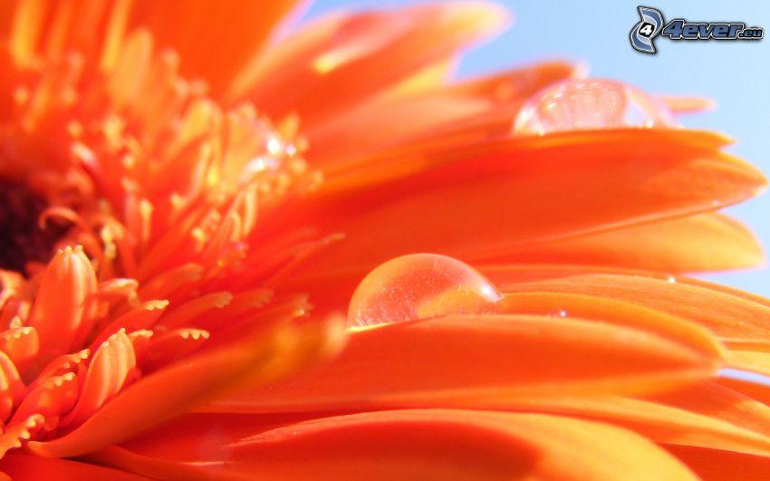 Gerbera, Wassertropfen, Blütenblätter