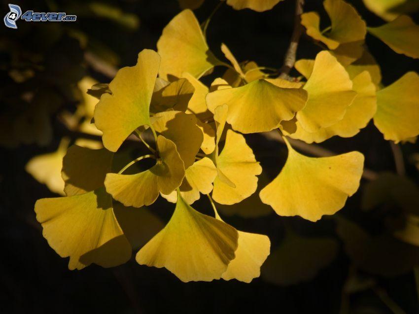 Ginkgo, gelbe Blätter