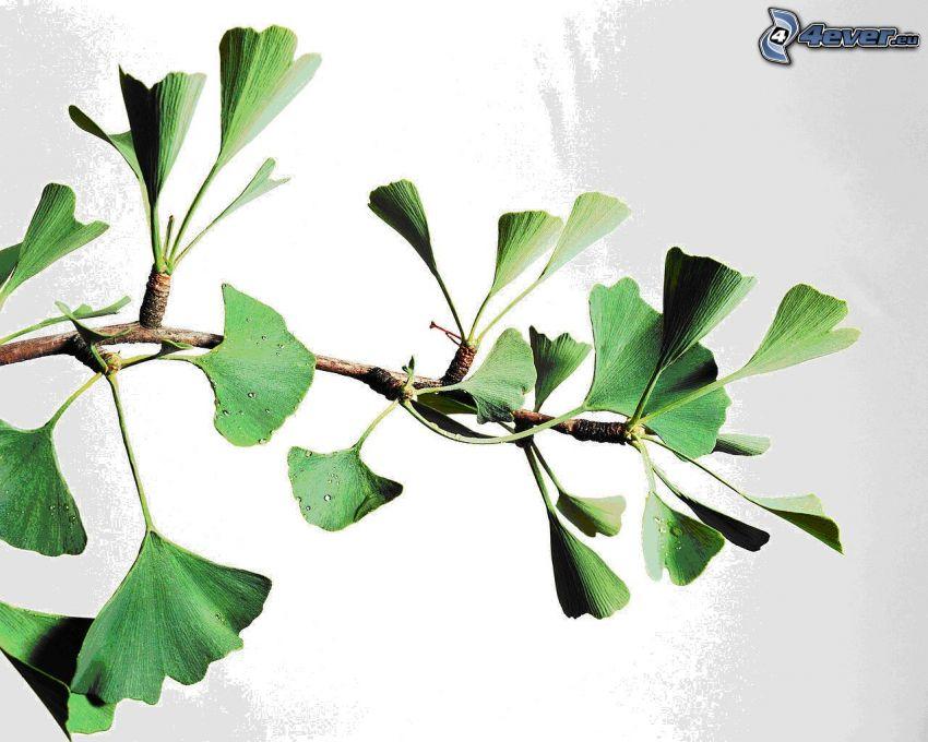 Ginkgo, grüne Blätter, Zweig