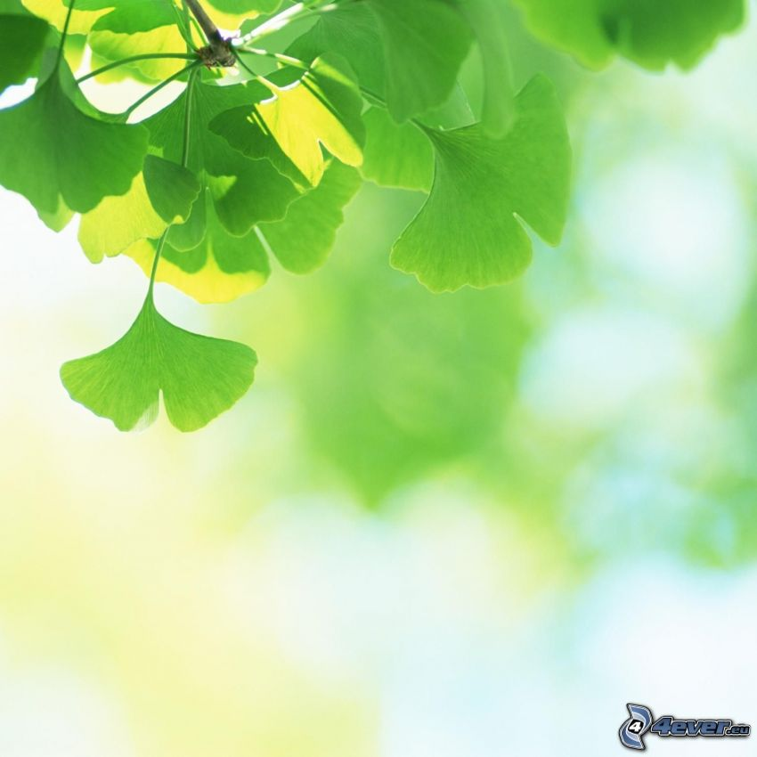 Ginkgo, grüne Blätter