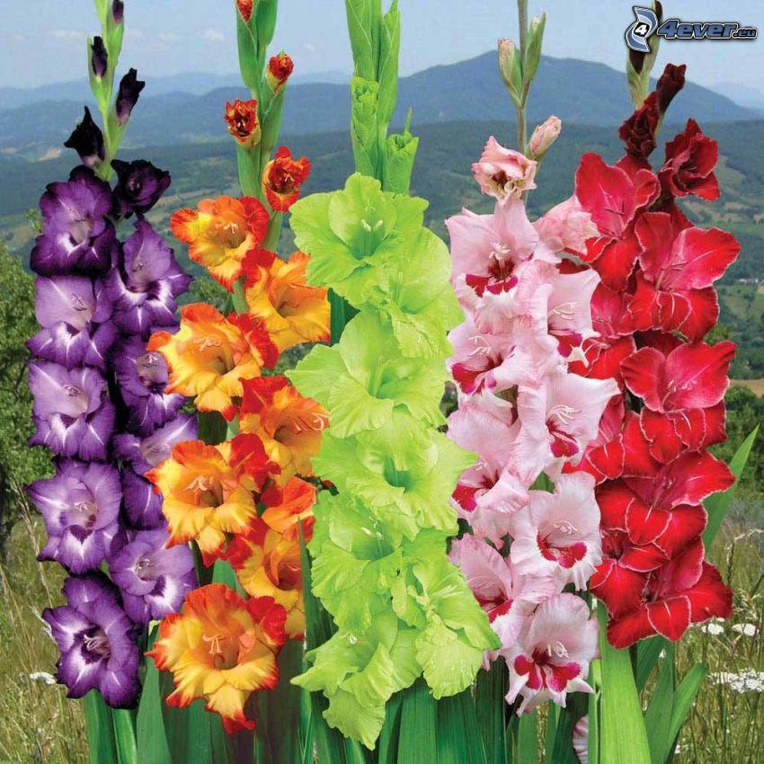 Gladiolen, bunte Blumen