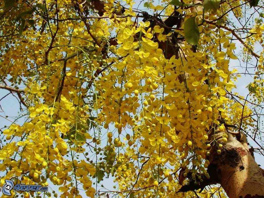 Goldregen, gelbe Blumen