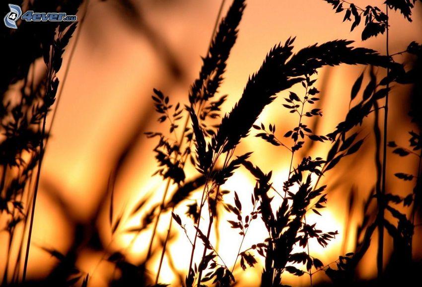 Grashalme beim Sonnenuntergang, Silhouette