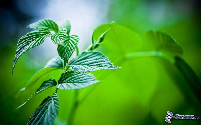 grüne Blätter, Minze