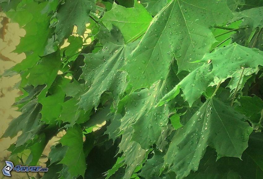 grüne Blätter, Wassertropfen