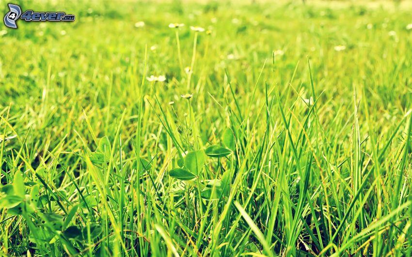 grüne Wiese, Gras, weiße Blumen