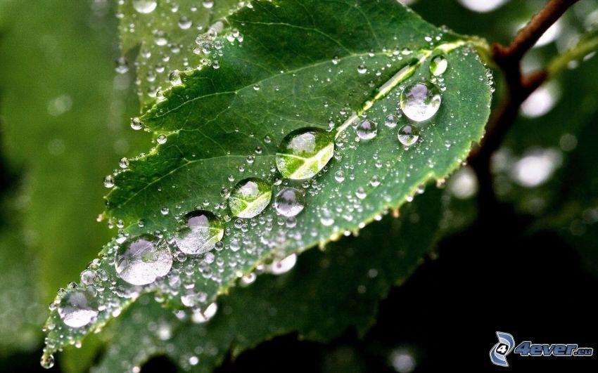 grünes Blatt, Tropfen des Regens