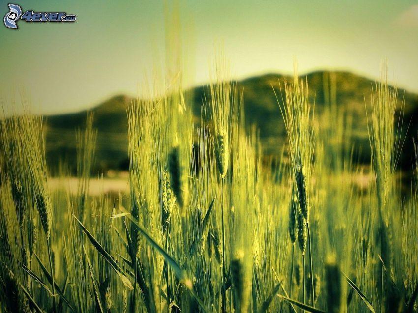 Grünkorn, Weizen