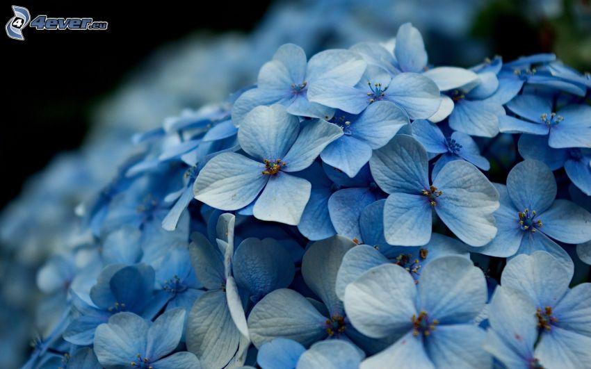 Hortensie, blaue Blumen