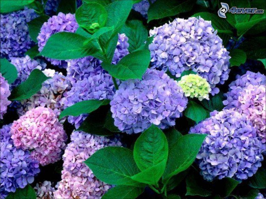 Hortensie, lila Blumen