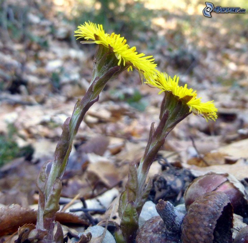 Huflattich, gelbe Blumen, Eichel