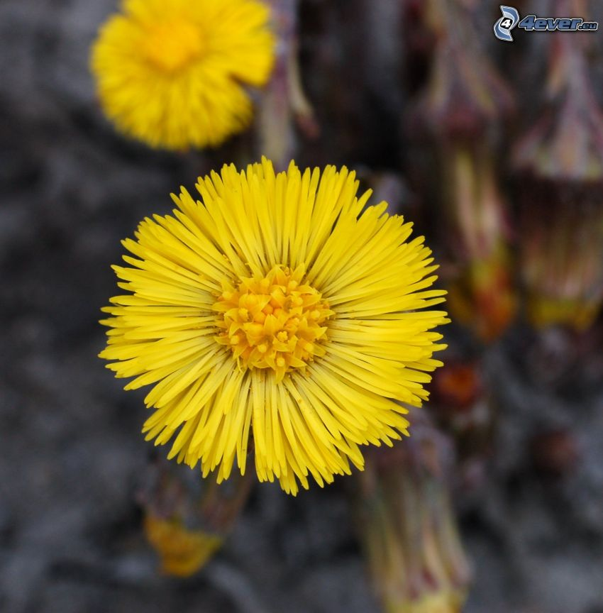 Huflattich, gelbe Blumen