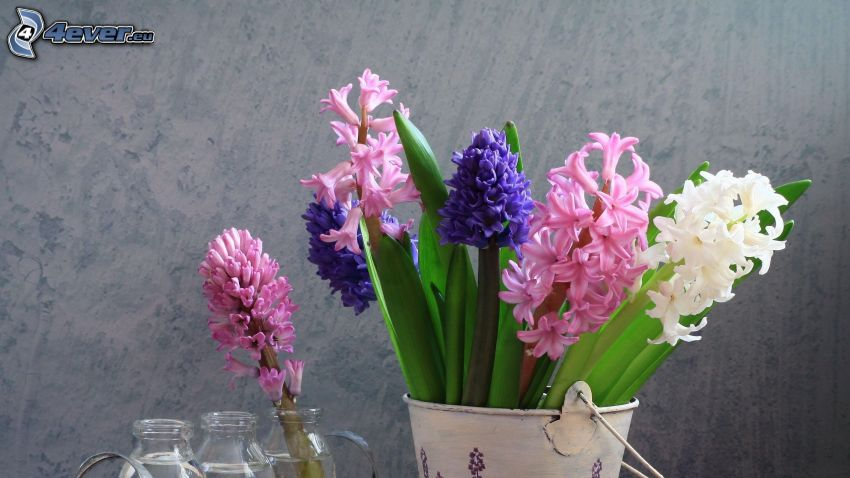 Hyazinthen, Blumen, Vase