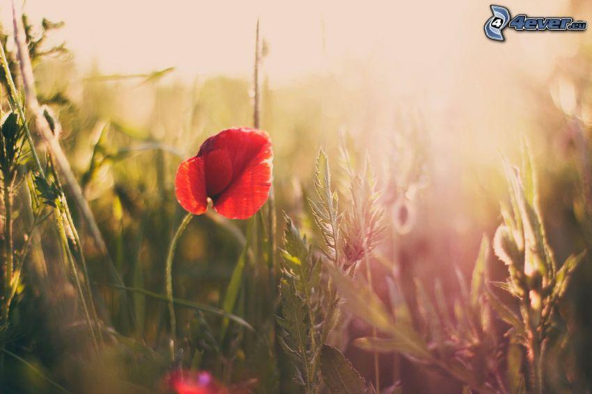 Klatschrose, Feldblumen