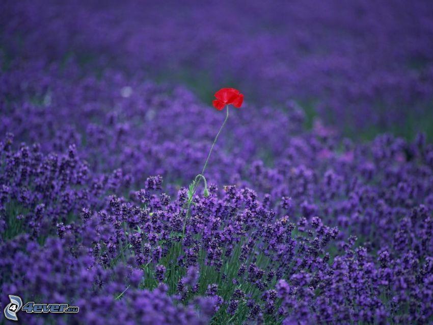 Klatschrose, Lavendelfeld