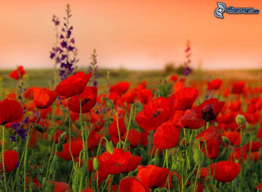 Klatschrose, roten Blumen, Feldblumen