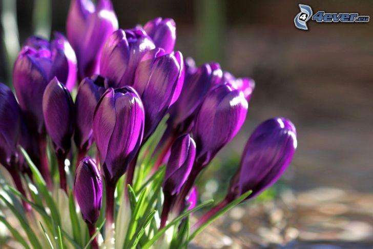 Krokusse, lila Blumen