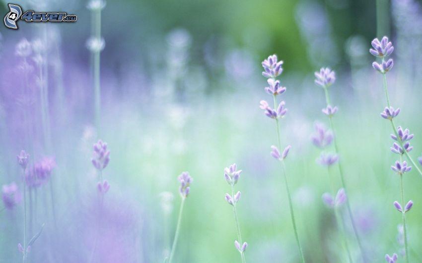 lila Blumen, Pflanzen