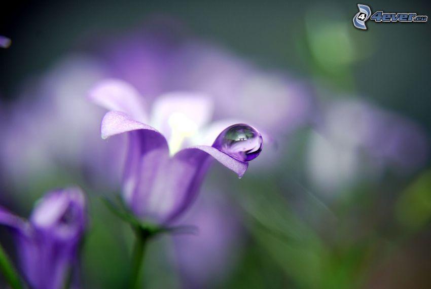 lila Blumen, Wassertropfen