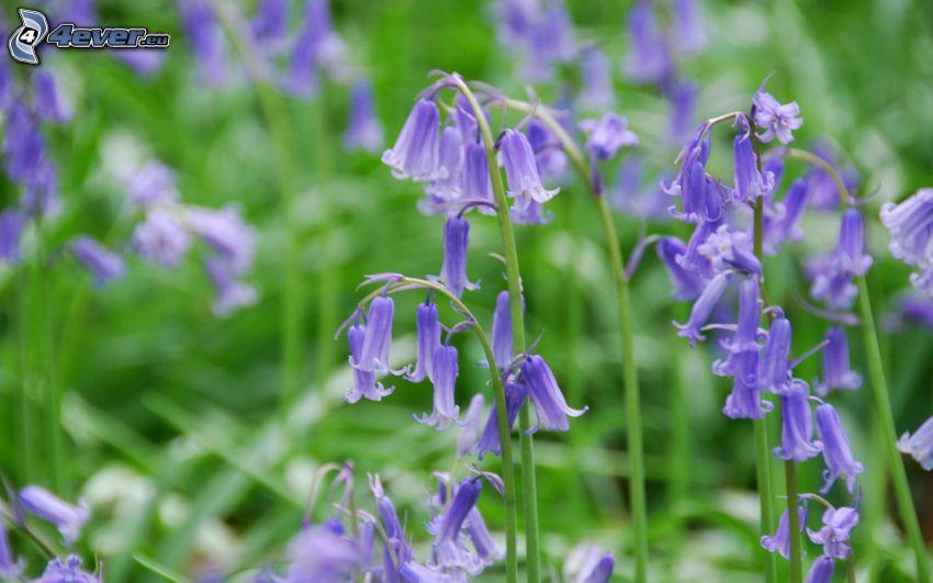 lila Englische Glockenblumen