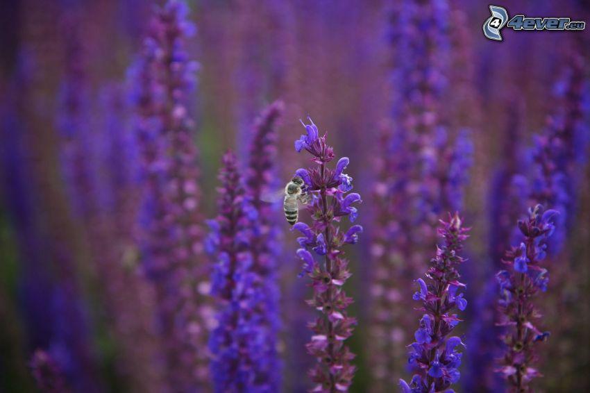 lila Pflanzen, Biene auf der Blume