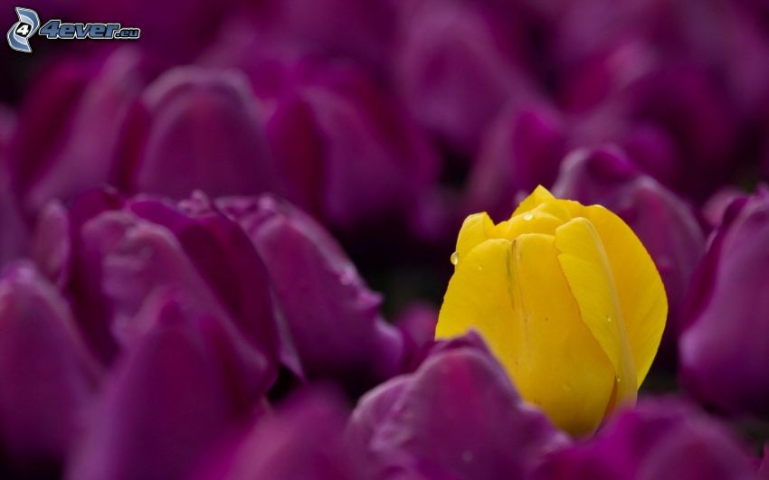 lila Tulpen, Gelbe Tulpe