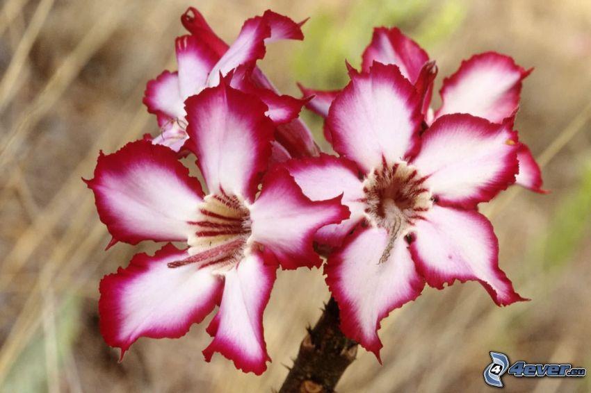 Lilie, bunte Blumen