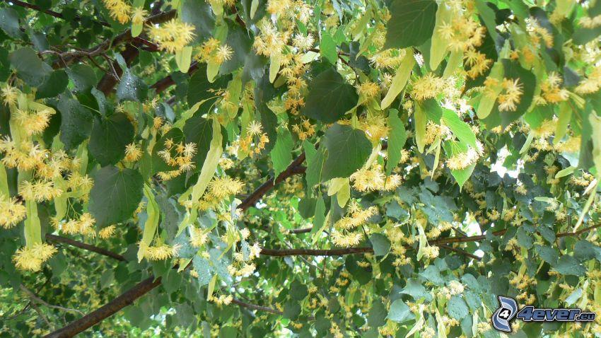 Linden, Äste, grüne Blätter