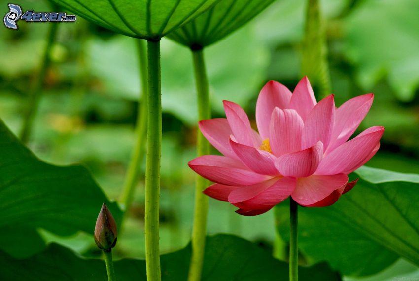 Lotosblume, rosa Blume, grüne Blätter
